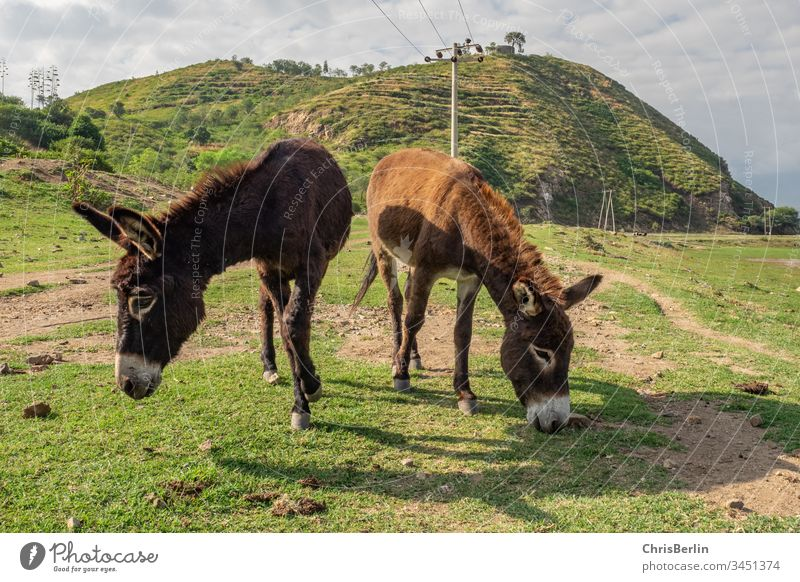2 free running donkeys Donkey Landscape Meadow in common animals Free-roaming Colour photo Nature green Grass Exterior shot Deserted Animal Farm animal To feed