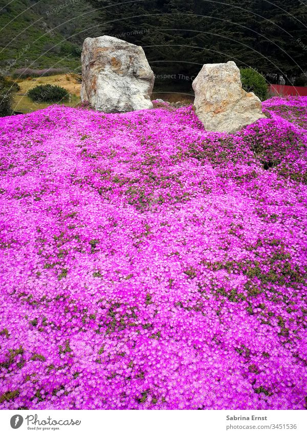 Beautiful field of pink flowers Flower field Pink heyday Blossom Spring Summer stones Nature Many Tropical Exotic Oregon vacation travel Floral Landscape nature