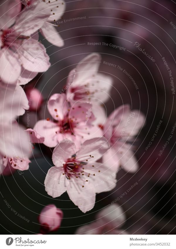 cherry blossoms schedules plan nature flower Flower power flowers Close-up Plant Object photography Colour photo bleed Worm's-eye view Exterior shot