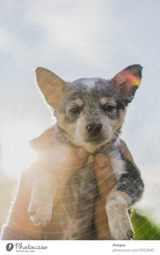 A puppy being held to the sky 2017-2020 first import blue heeler texas texas heeler puppy love Puppydog eyes doggy Baby animal best friend man's best friend pet
