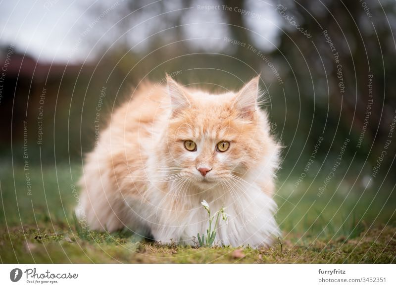 Maine Coon cat smells a flower in nature Cat pets feline Pelt Fluffy Longhaired cat Fawn Beige Cream Tabby Ginger cat White One animal Outdoors purebred cat