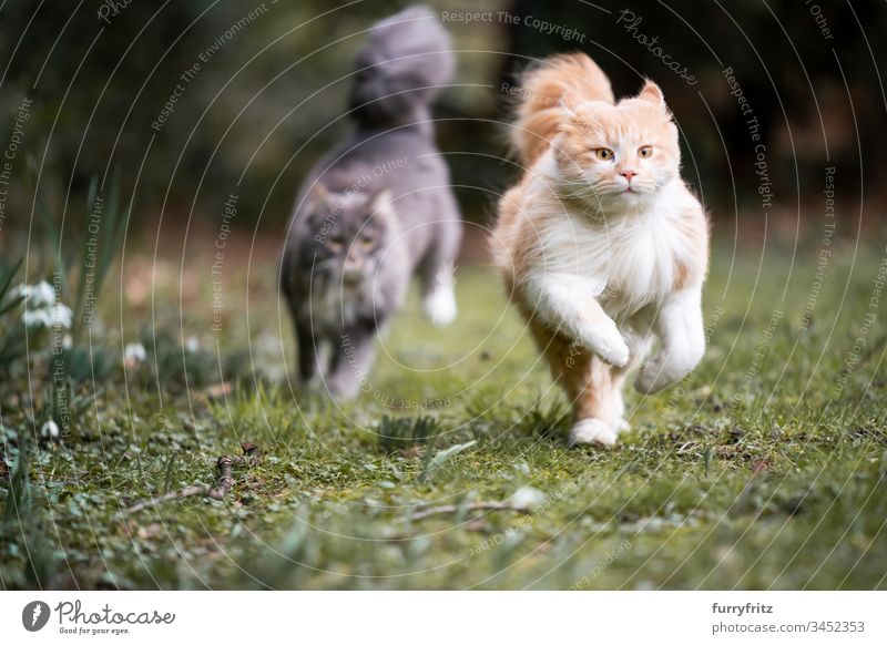 two Maine Coon cats run through the garden and chase each other Cat pets feline Pelt Fluffy Longhaired cat blue blotched Fawn Beige Cream Tabby Ginger cat White