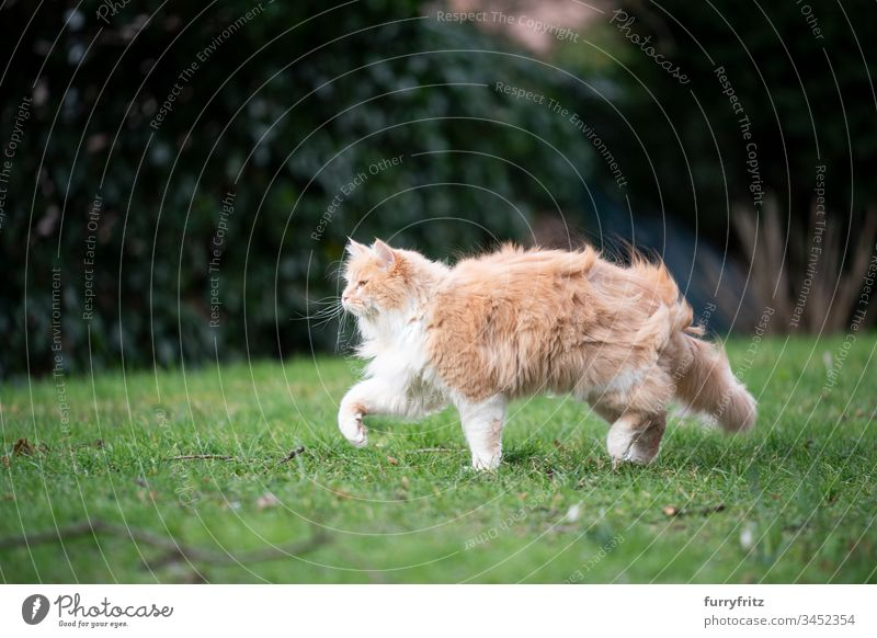 Maine Coon cat walking through the garden on a windy day Cat pets feline Pelt Fluffy Longhaired cat Fawn Beige Cream Tabby Ginger cat White One animal Outdoors
