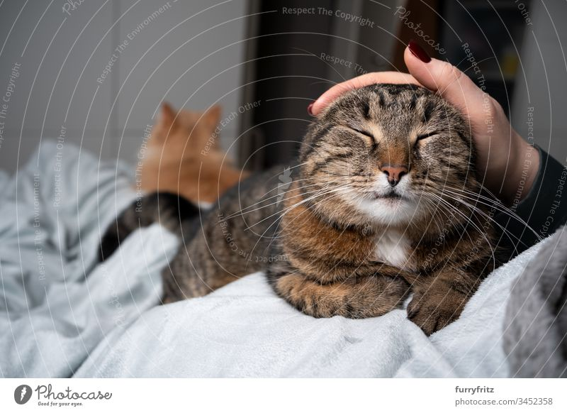 Cat being stroked on the bed by human. Another cat lies in the background pets feline Pelt White Two animals domestic shorthair tabby indoors Relaxation Resting