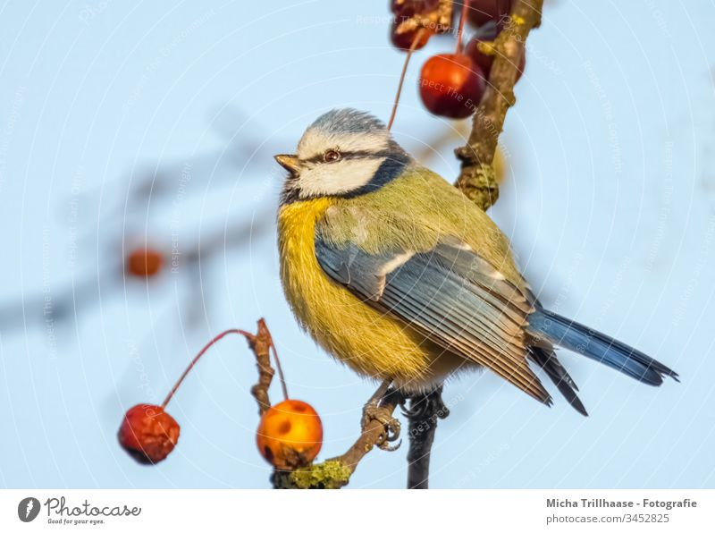 Blue Tit in the Sunshine Tit mouse Cyanistes caeruleus Head Beak Eyes Animal face Feather Plumed Grand piano Bird Claw Wild animal Twigs and branches Tree