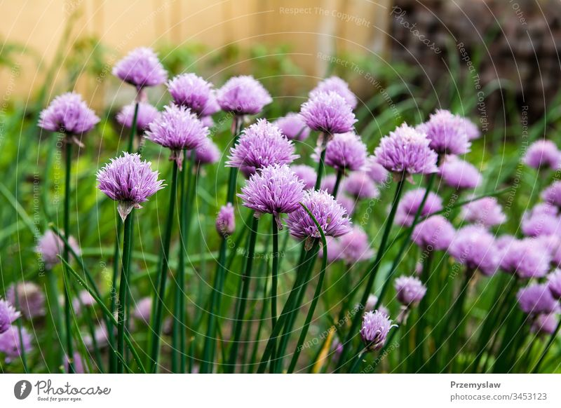 Blossoming chive in the garden vegetable nature plant organic healthy food natural flower green horizontal day light bright colorful