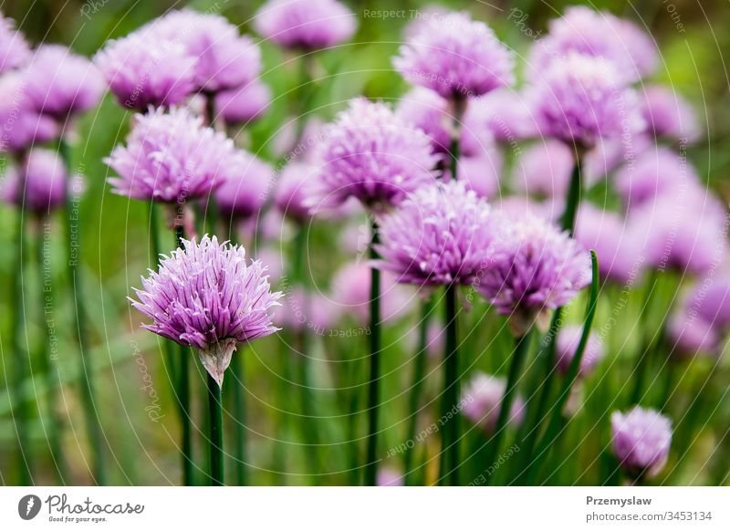 Blossoming chive in the garden plant nature blossoming food healthy organic vegetable horizontal day light bright colorful flower green