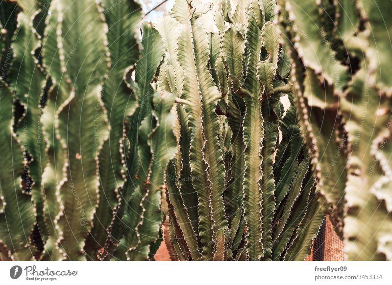 green cactuses growing on dirt background beautiful botanic botanical botany cacti colorful danger decoration design dry earth exotic flora floral flower garden