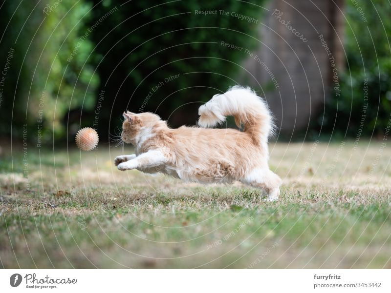 Maine Coon cat runs and plays ball in the garden no people Outdoors One animal Cat Cute Enchanting Longhaired cat Cream Tabby Fawn Beige purebred cat Ginger cat