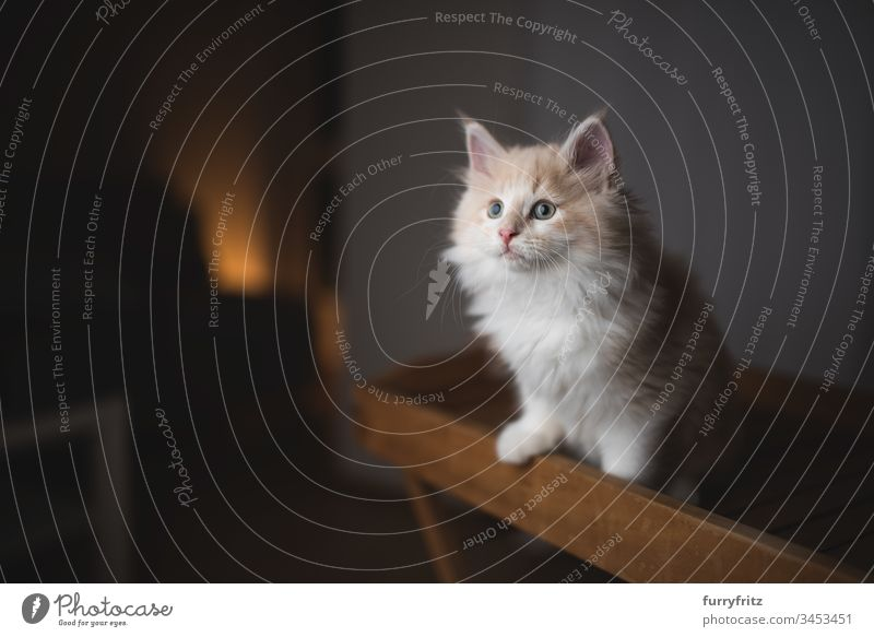 young curious Maine Coon kitten standing on a wooden tray 2-5 months Enchanting Adventure Watchfulness animal eye animal hair Beautiful