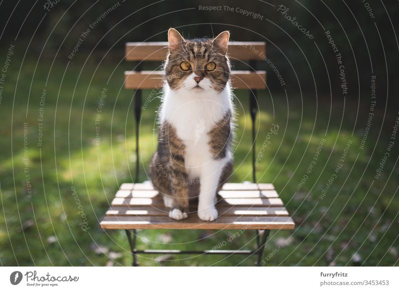 British shorthair cat sitting on a chair in the garden Grass green color British Shorthair purebred cat tabby white color Nature Botany plants Watchfulness