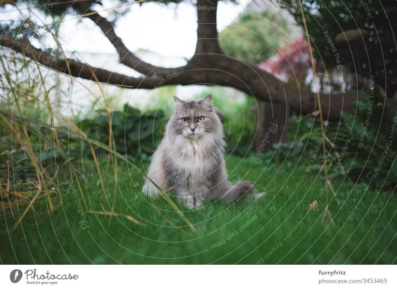 Maine Coon cat sitting under a tree in the garden blue-cream-tortie lawn Tortoiseshell cat no people monitoring look into the camera Cat Cute Fluffy Pelt feline