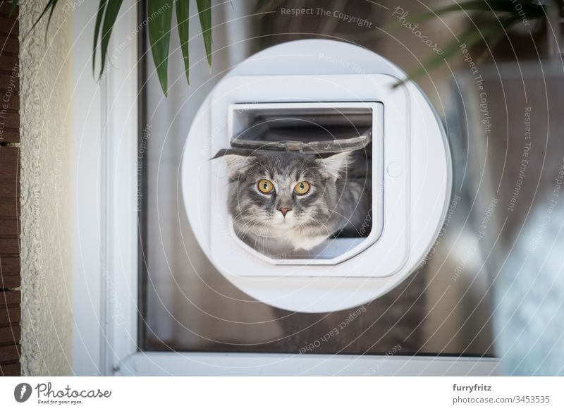 Maine Coon cat leaves the apartment through a cat flap in the window blue blotched bokeh Curiosity Cute Domestic cat feline Fluffy Front or backyard Front view