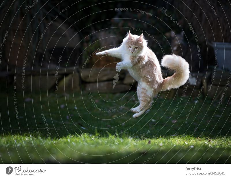 Maine Coon cat playing in the garden and jumping in the air Cat Air Front or backyard enjoyment Hunting chasing Flying Movement Playful Playing Looking Cute