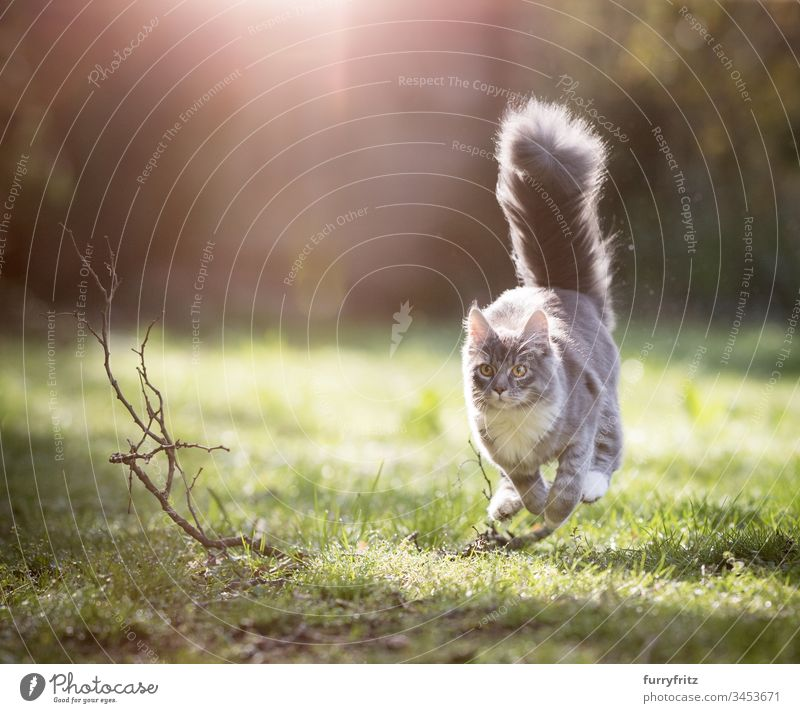 Maine Coon cat with fluffy tail runs through the sunny garden Cat Running Hunting chasing Speed swift Movement Playful Looking Cute Enchanting Beautiful feline