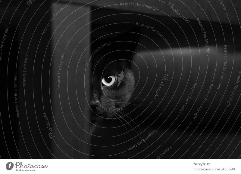 Black cat hiding behind black table Cat Table black background look into the camera Watchfulness animal eye Beauty & Beauty black on white complete Couch