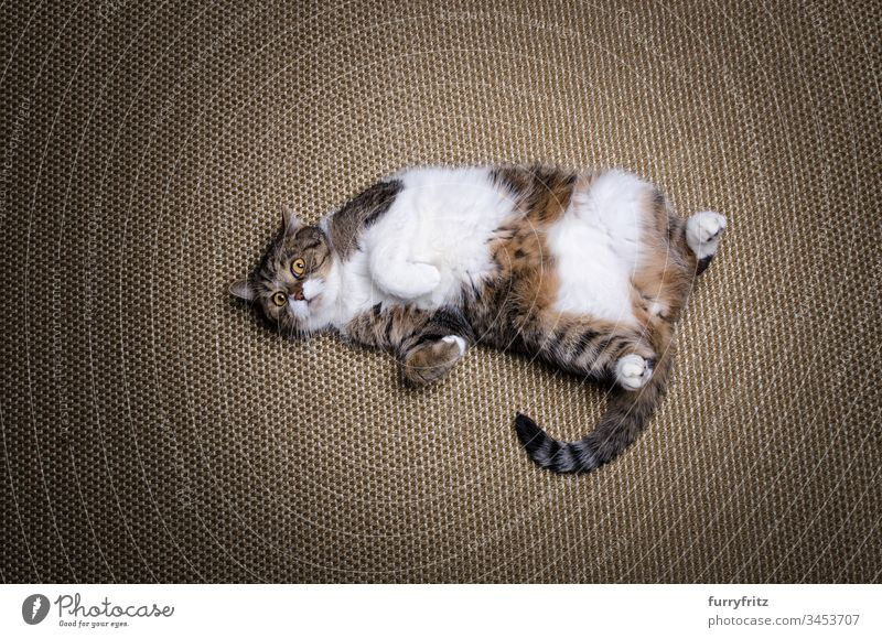Overweight lazy British Shorthair cat lies on the back Cat Lie (Untruth) Sisal carpet Diet Obesity animal eye animal hair Beauty & Beauty Curiosity Cute