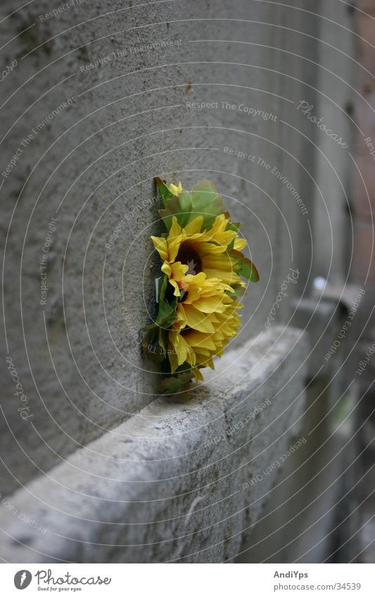 Flower_on_Prager_House_Wall Sunflower Wall (building) Prague Czech Republic Yellow Green Gray Wall (barrier) Plant Stone