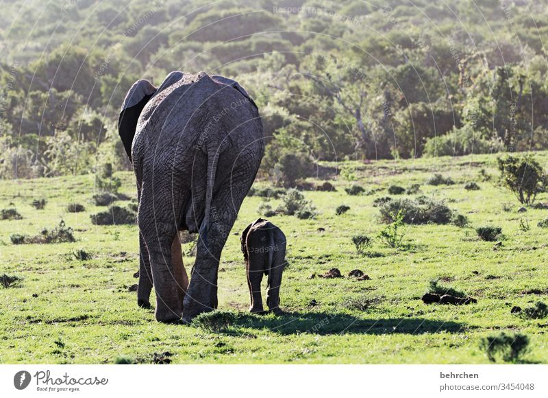 contrasts | large and small Mother with child in common Together animal baby Animal family russian Safety (feeling of) Protection Trust Child Elephant