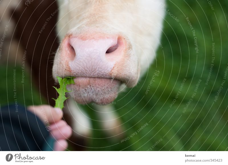 Too bad for cow Elsa. Last dandelion. Fingers Nature Meadow Animal Farm animal Cow Muzzle Nostrils Nose 1 To feed Feeding Pink Closed Colour photo