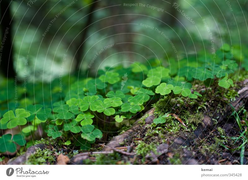 Forest luck clover Environment Nature Plant Moss Clover Cloverleaf Root Growth Fresh Cute Beautiful Many Green Colour photo Exterior shot Close-up Detail