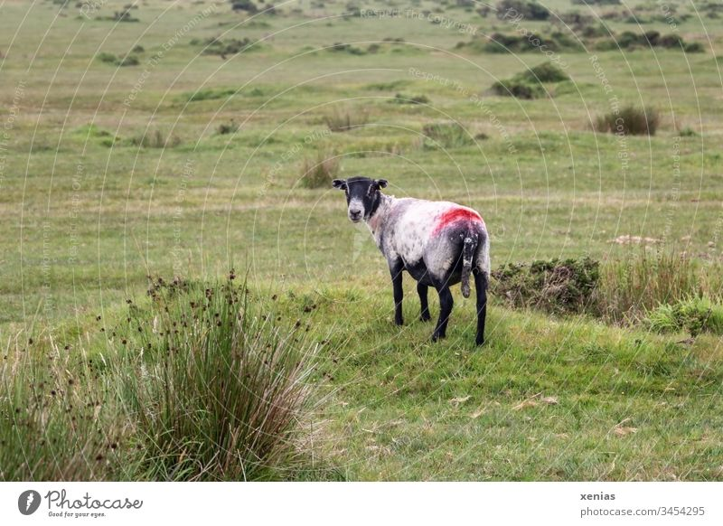 Sheep on green pasture looks back into camera Grass Willow tree Meadow Animal Farm animal Red Black Green Animal portrait Colour photo 1 Nature Landscape Wool