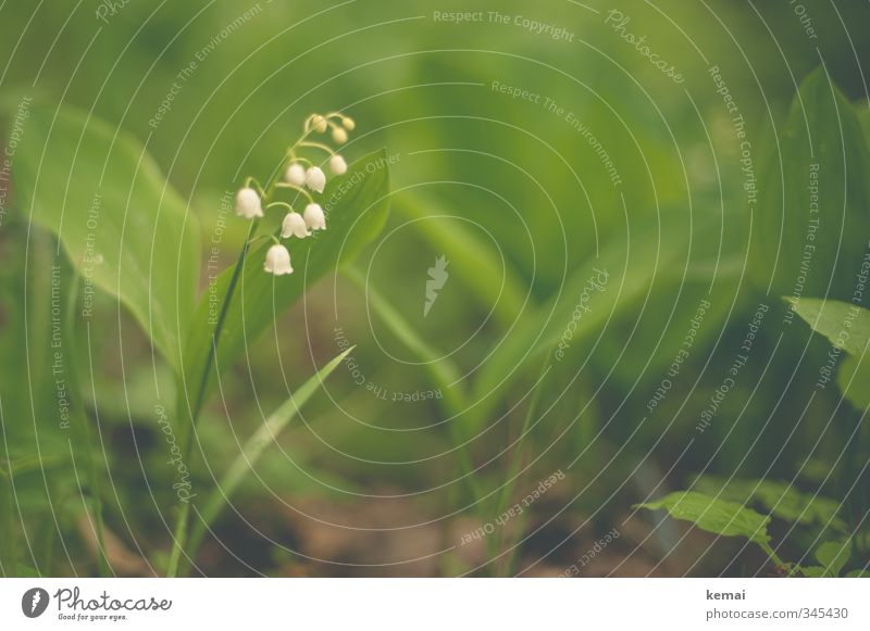 Nature Green White Plant Leaf Environment Blossom Small Cute Wild plant Lily of the valley
