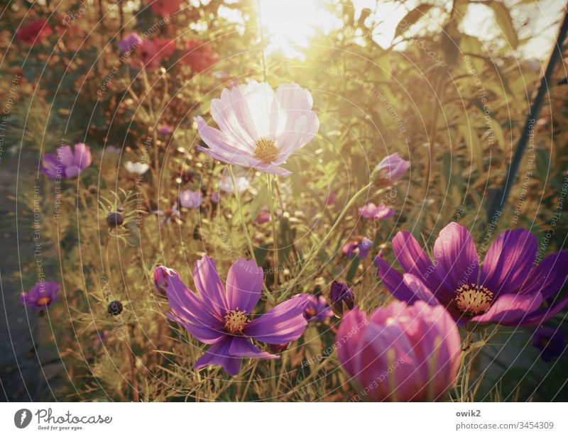 A scent of summer Cosmea flowers blossoms Blossoming Summer luminescent Bright Colours Deserted Exterior shot Shallow depth of field Close-up Nature Plant