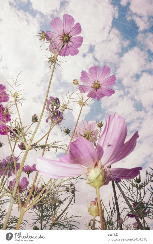 Optimists flowers blossom Upward Life Joie de vivre (Vitality) Optimism Worm's-eye view blossoms Cosmea Spring Close-up Colour photo Exterior shot Plant Nature