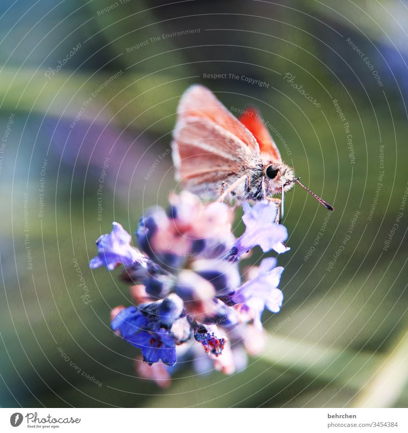 a beautiful little thing Warmth Summery Illuminate lilac Bright butterfly bush Spring Animal Plant Nature pretty Small Delicate Butterfly Exceptional Hover
