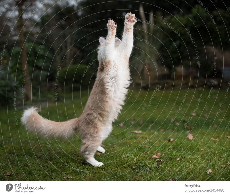 playful Maine Coon cat jumps into the air and stretches Kitten catching chasing jumping Outdoors enjoyment Energy Hunting Movement ascent Playing elevation