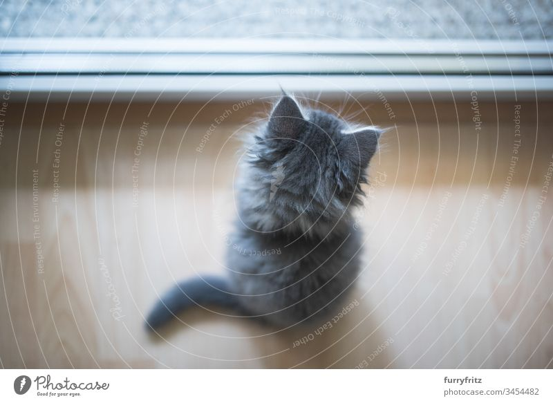 Little Maine Coon kitten looks out the window 8-10 weeks Enchanting Watchfulness animal hair Beautiful blue blotched Cute Domestic cat Investigation feline