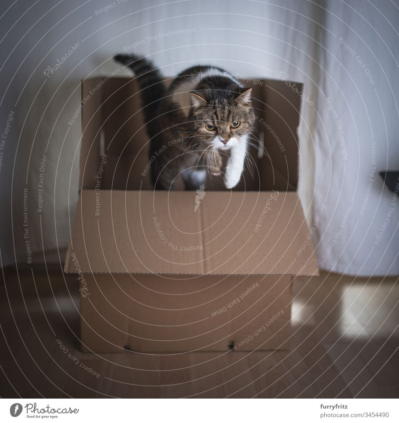 Cat jumps out of a box British Shorthair Cardboard box jumping Movement indoors activity animal eye animal hair bsh Copy Space drapes Investigation Fluffy