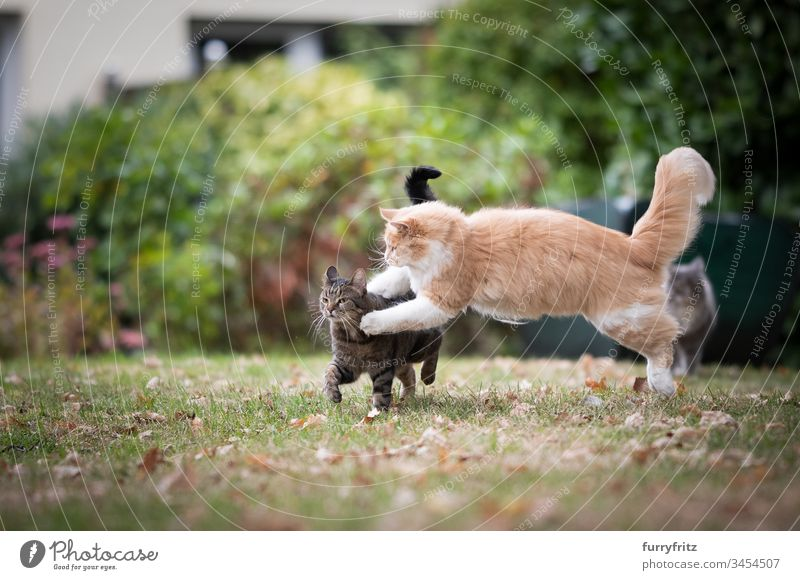 two playful cats fighting in the garden feline Pelt Fluffy Cat purebred cat pets Maine Coon Longhaired cat White Cream Tabby Fawn Beige tabby shorthaired cat