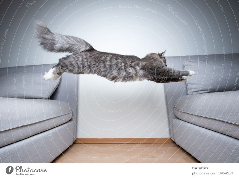 Maine Coon cat jumps over the sofa indoors White Paw Longhaired cat purebred cat blue blotched Fluffy feline Pelt Kitten Cute Beautiful Sofa Gray Pillow Cushion
