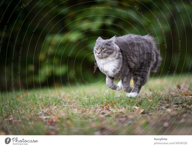 Maine Coon cat runs across the meadow Cat Cute Enchanting Beautiful feline Fluffy Pelt purebred cat pets Longhaired cat White blue blotched One animal Outdoors