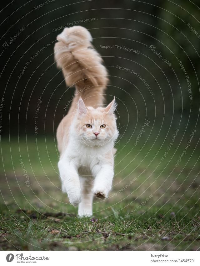 Maine Coon cat with big fluffy tail runs across the meadow Cute Enchanting Beautiful Fluffy feline Pelt Kitten purebred cat Longhaired cat Cream Tabby Beige