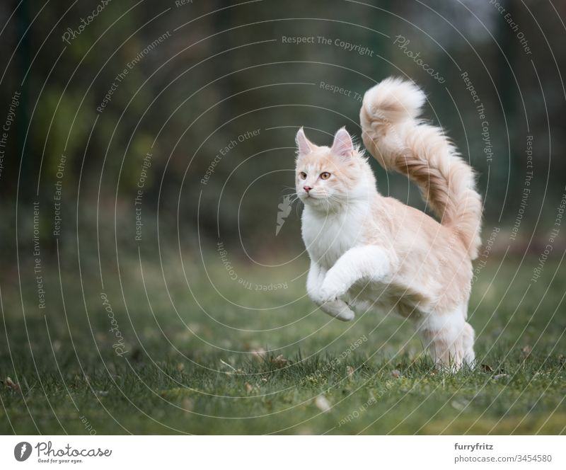 Maine Coon cat with fluffy tail running through the garden Cute Beautiful Fluffy Pelt Kitten purebred cat Longhaired cat Cream Tabby Beige Fawn young cat