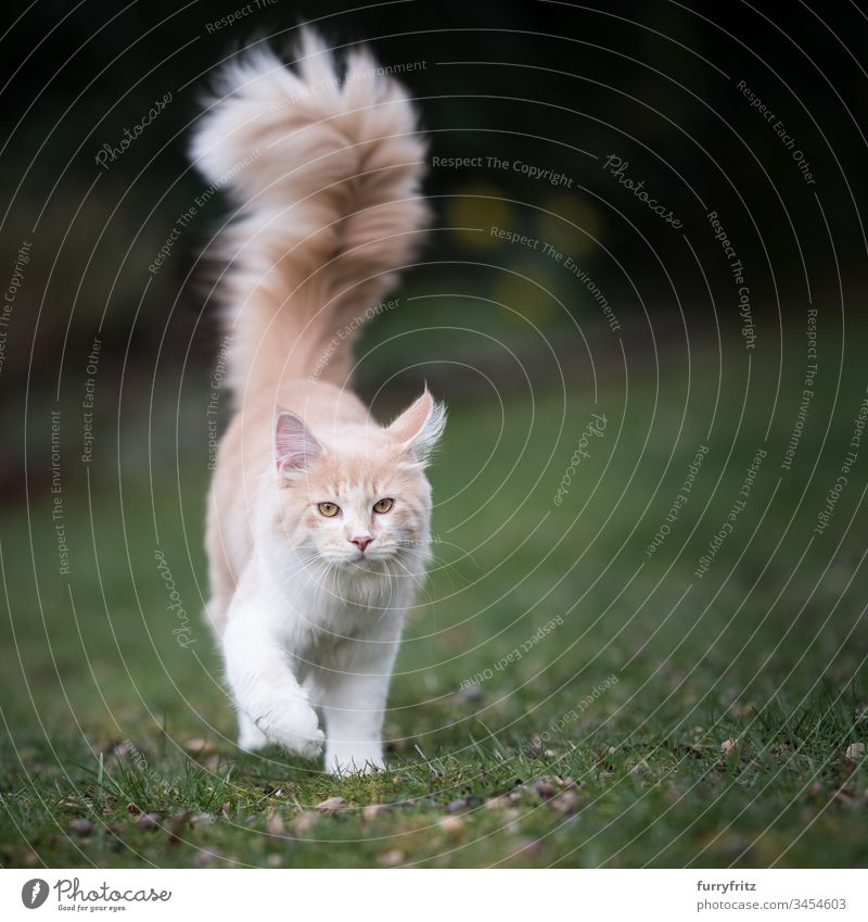 Maine Coon cat with long, fluffy tail walks across the lawn in nature Cute Enchanting Beautiful Fluffy feline Pelt Kitten purebred cat Longhaired cat