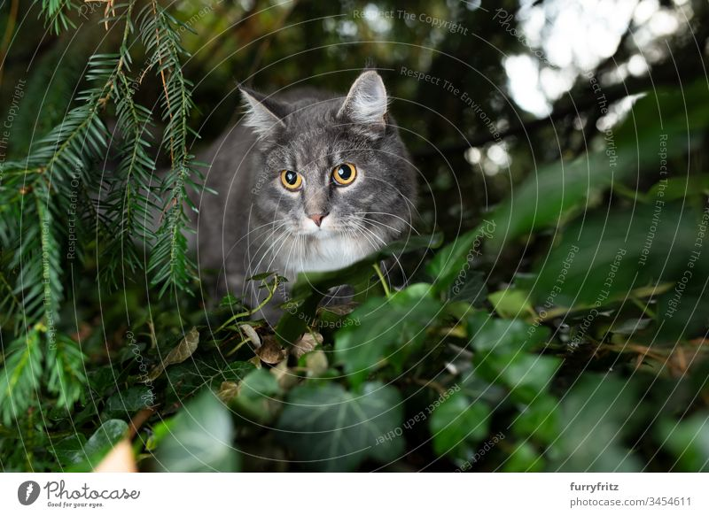 Maine Coon cat hides in the bushes and watches Cat Outdoors One animal Front or backyard Garden Nature Botany plants Longhaired cat purebred cat pets Fluffy