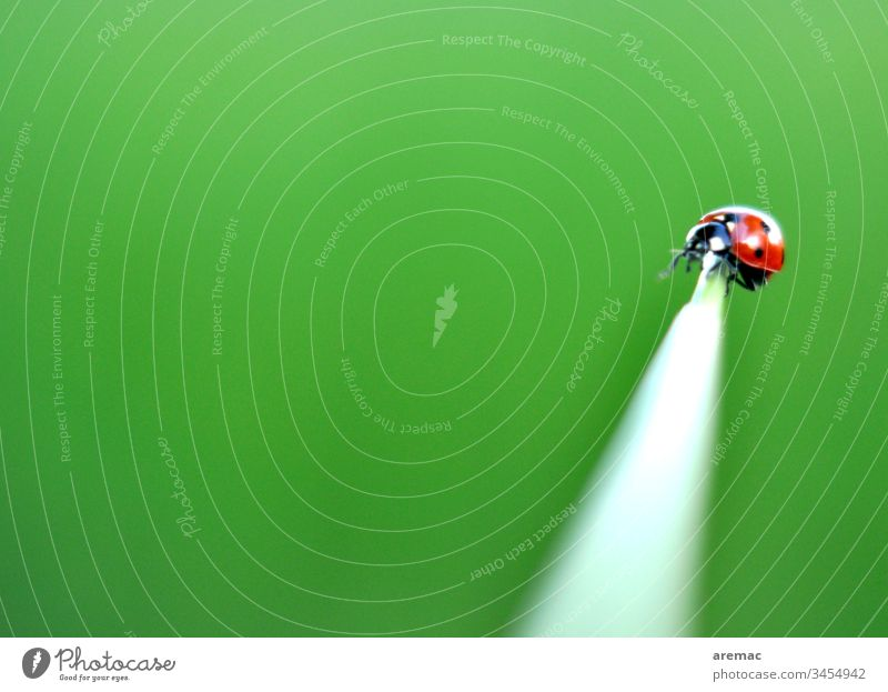 Balancing act of a ladybird on a stalk balance Ladybird Green Animal Insect Grass Blade of grass by oneself Point Beetle Close-up Macro (Extreme close-up) Red