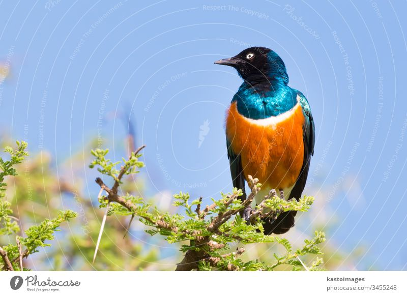 Superb Starling Bird, Lamprotornis superbus. bird nature wildlife blue starling animal africa beak green colorful wing tree bright beautiful natural shiny black
