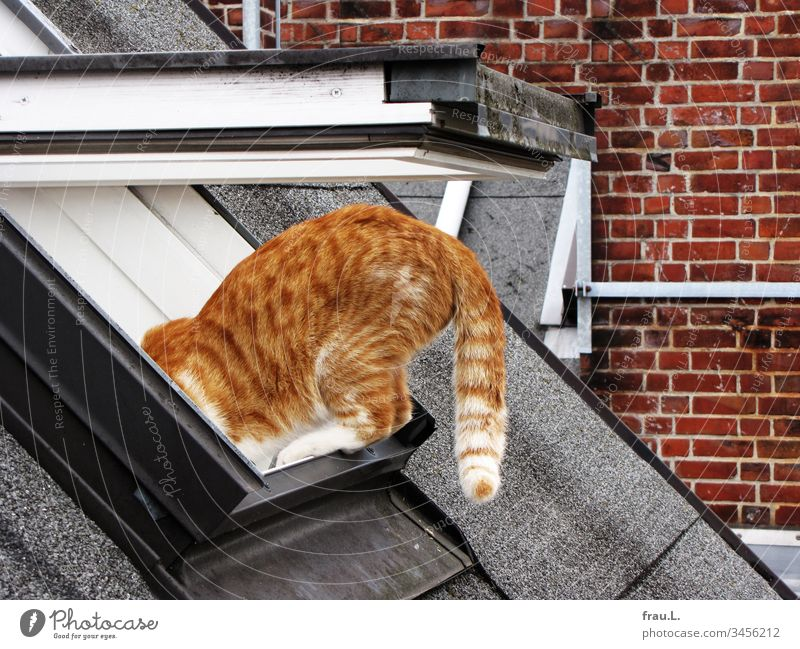 When her red tomcat finished his climbing exercises on the roof slope, she usually had one more grey hair on her head. hangover Cat Roof Skylight Climbing