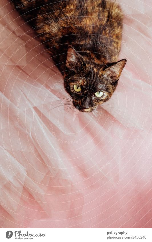 Cat sits on tulle skirt and looks curiously into the camera book cover motif cateye Cat's head Animal Pet Pelt Animal portrait Domestic cat Colour photo Observe