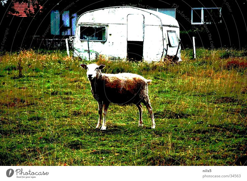 Lonely sheep on pasture Sheep Caravan Grass Wool Transport Pasture poster effect Old Hut
