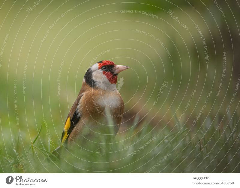 Sieglitz in the grass goldfinch Diestelfink Bird Migratory bird Colour photo Exterior shot Day Animal Nature Deserted Wild animal Flying Sky Flock Free