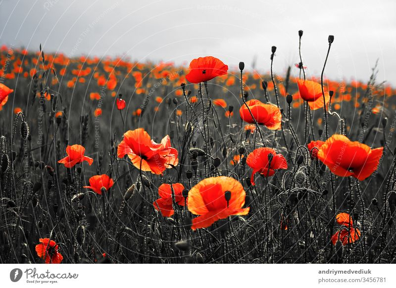 Beautiful poppies on black and white background. Flowers Red poppies blossom on wild field. Beautiful field red poppies with selective focus. Red poppies in soft light