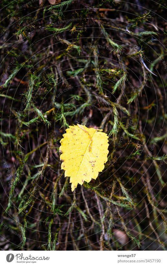A small yellow leaf of a birch tree rests in autumn on a soft cushion of green moss and waits for the tiny attention of passing camera operators flaked Small