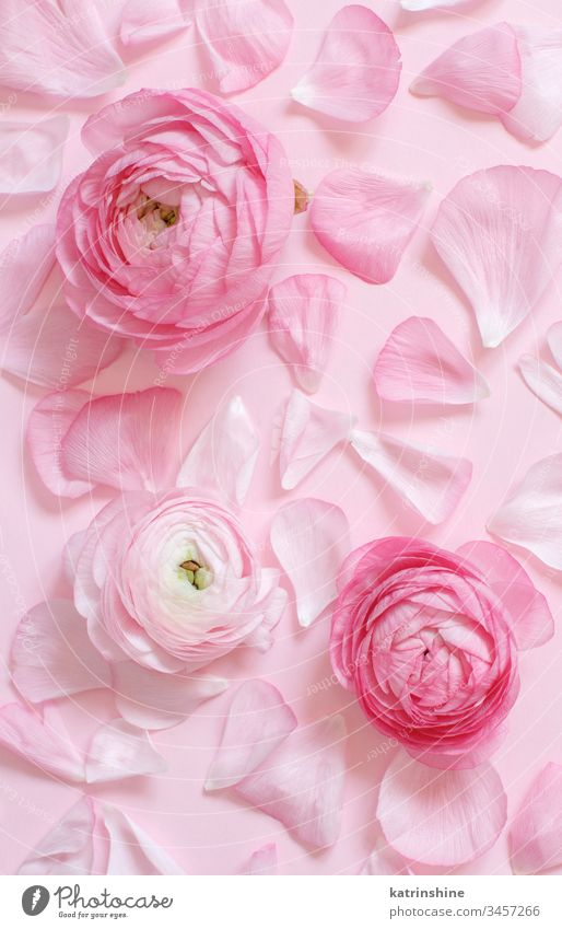 Pink ranunculus flowers and petals on a light pink background spring romantic monochrome pastel flat lay composition roses top view above concept creative day