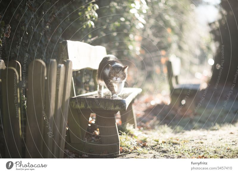 Cat walks over a wooden bench in the sunlight in the garden British Shorthair Outdoors Background lighting bokeh animal eye animal hair Bench Domestic cat